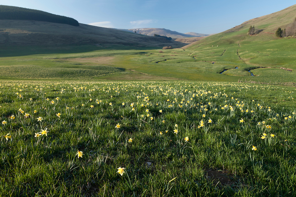 Elevated veiw of meandering stream passing through grassland with wild Daffodils in the front