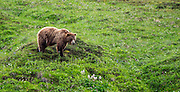 The inland grizzlies are quite different than the coastal grizzlies we've been seeing at Katmai.