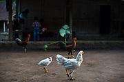 Kippen op erf, Berggebied Merapi, Jogjakarta. Kippen maken deel uit van het leven op Java. De kip voorziet in inkomsten en voedsel.