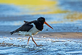 South Island Pied Oystercatcher Pictures - Photos