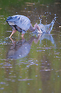 A Great Blue Heron (Ardea herodias fannini) strikes at prey while wading in a pond along the Hood Canal of Washington's Puget Sound, USA.