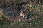 Puma (Felis concolor patagonica) waiting on fence line to hunt guanaco<br /> Torres del Paine National Park<br /> Patagonia<br /> Magellanic region of Southern Chile