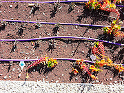 Ecological gardening. Drip irrigation in a tuff covered Flower bed. The tuff decreases the water evaporation and drip irrigations supplies water directly to the roots of the plant. The total affect is a reduction in the water required to grow and maintain a garden