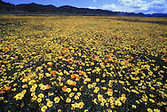 The wildflower spread is in full bloom in the Bear Valley region of Coulsa County.  This array of flowers includes Tidy Tips, California Poppies and Birds-Eye Gilia.