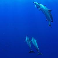 Spinner Dolphin, Party at the Rock, Stenella longirostris longirostris, Molokai Hawaii