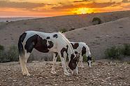 PLACITAS WILD HORSES: BLACK AND WHITE PINTOS
