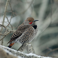 A Red-shafted Flicker (Colaptes aruatus) perches in a snowy aspen tree near Bozeman, Montana