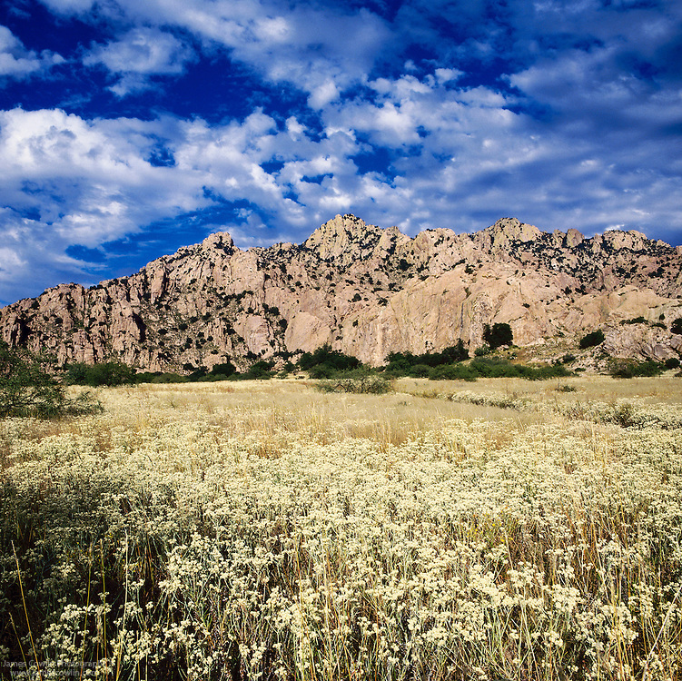 A field of pearly everlasting wildflowers in the Dragoon Mountains in southeastern Arizona
