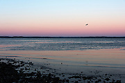 Seagull flying in front of winter sunset, Hulls Cove, Maine.