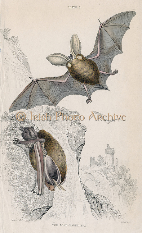Long-eared Bat (Plectorus auritus), small mouse-like flying mammal. [1828]. From 'British Quadrupeds', W MacGillivray, (Edinburgh, 1828), one of the volumes in William Jardine's Naturalist's Library series. Hand-coloured engraving.