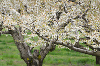 Pear orchard in bloom, Hood River Oregon