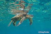 green sea turtle or honu, Chelonia mydas, floating just under the water surface, Honaunau, Kona, Hawaii ( Central Pacific Ocean )