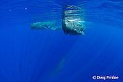 sperm whales, Physeter macrocephalus ( Endangered Species ), three adult females and a calf, Kona, Hawaii Island ( the Big Island ), Hawaii, U.S.A.  ( Central Pacific Ocean )