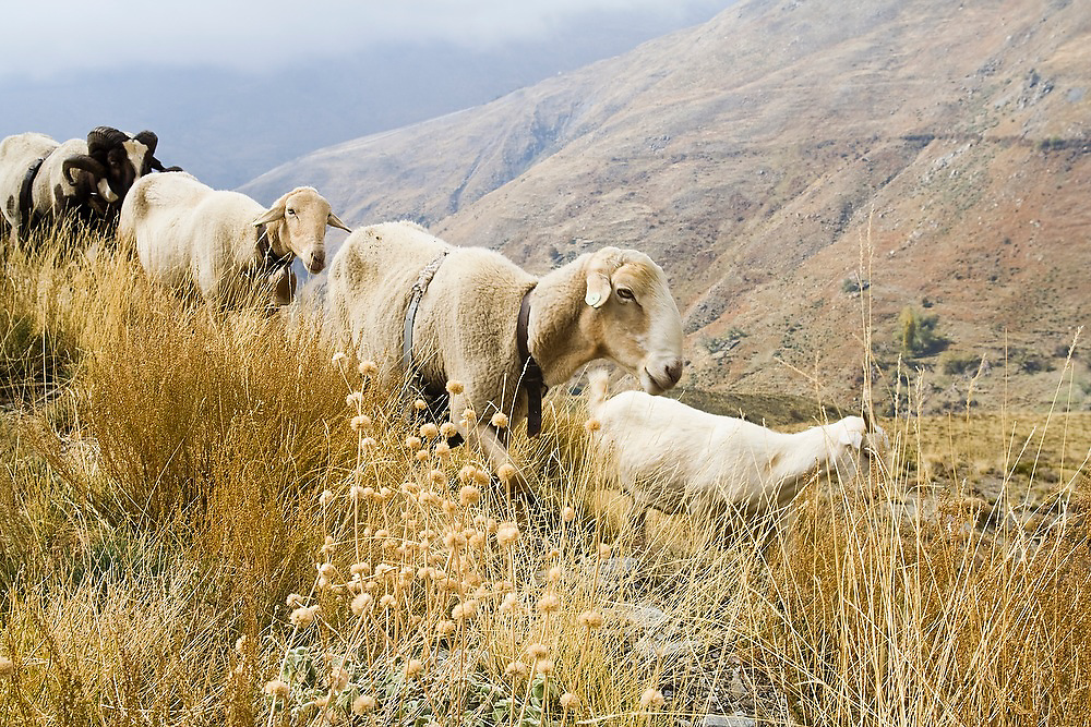 Sheep travel together in the foothills of the Sierra Nevada outside the village of Capileira, Andalusia, Spain.