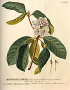 Coloured Copperplate engraving of a Rhododendron branch from hortus nitidissimus by Christoph Jakob Trew (Nuremberg 1750-1792)