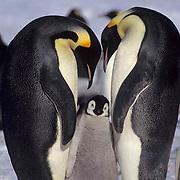 Emperor Penguin, (Aptenodytes forsteri) Adults and chick. Atka Bay Antarctica.