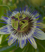 Passiflora, Passion Flower, floral designs, garden flowers