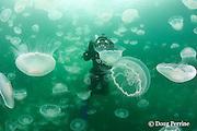 photographer Nathan Meadows in jellyfish swarm ( aggregation of moon jellies, Aurelia labiata ), Port Fidalgo, Alaska ( Prince William Sound ),  MR 422