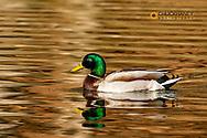 Mallard ducks at Woodland Park in Kalispell, Montana, USA