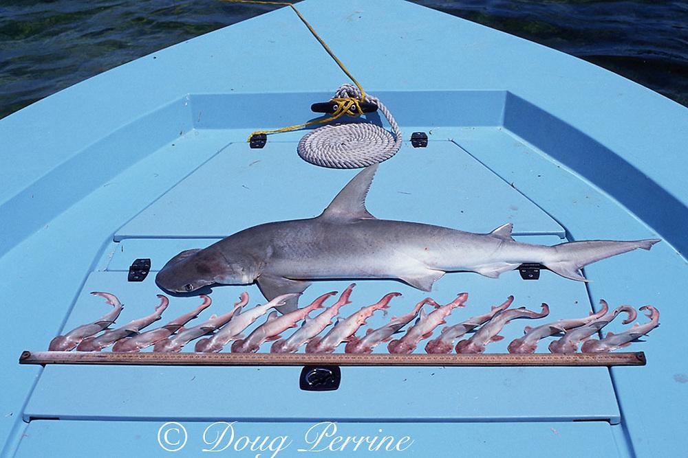 bonnethead shark, Sphyrna tiburo, caught in gill net, with 15 unborn pups ( embryos ), Florida Keys, Florida Bay ( Gulf of Mexico )