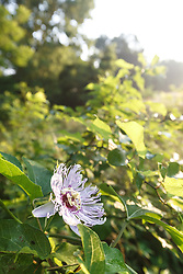 Passionflower, Big Spring,Great Trinity Forest, Dallas, Texas, USA