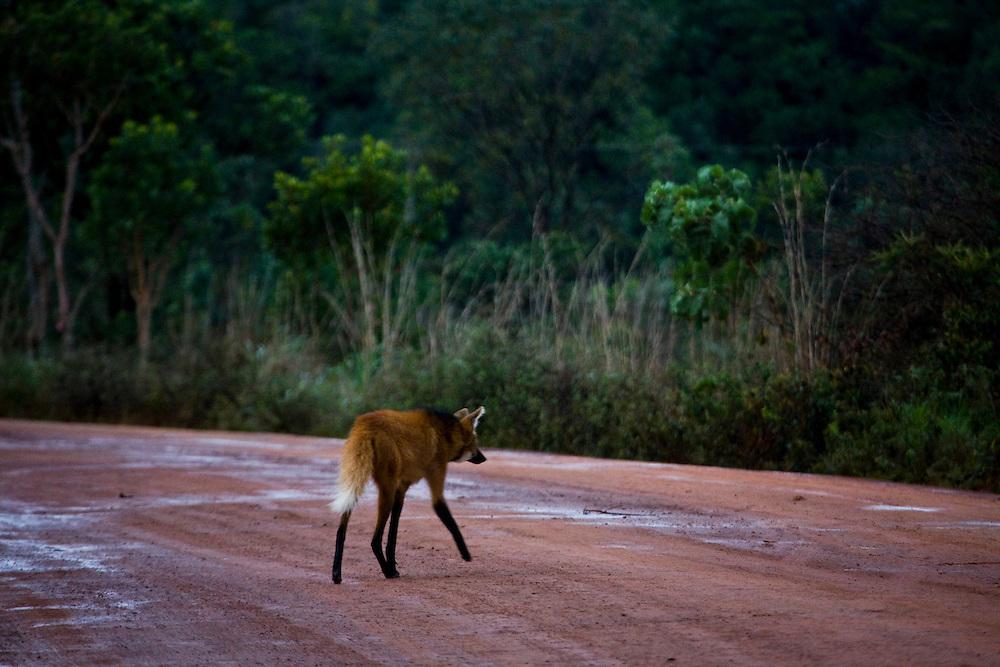 Alto Paraiso de Goias_GO, Brasil...Lobo-guara (chrysocyon brachyurus) no Parque Nacional da Chapada dos Veadeiros...The Maned wolf (chrysocyon brachyurus) in Parque Nacional da Chapada dos Veadeiros...Foto: JOAO MARCOS ROSA / NITRO..