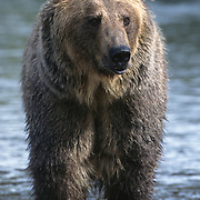 Adult grizzly bear (Ursus horribilis) in a river. Montana, Captive Animal
