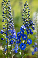 Delphinium 'Cobalt Dreams' a deep blue flower at Waterperry Gardens, Waterperry, Wheatley, Oxfordshire, UK
