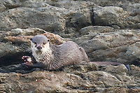 Cape Clawless Otter feeding on a Cape Rock Crab, Tsitsikamma Marine Protected Area, Garden Route National Park, Eastern Cape, South Africa,