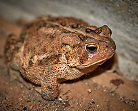 Toad trying to get into my garage. Fall Nature in New Jersey. Image taken with a Nikon D800 camera and 60 mm f/2.8 macro lens (ISO 800, 60 mm, f/5, 1/60 sec) + popup flash.