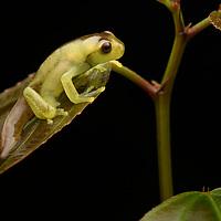 Babbling Torrenteer (Hyloscirtus alytolylax), young froglet metamorph. Mindo, Ecuador.
