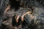 Close-up portrait of an infant mountain gorilla hand  (Gorilla beringei beringei) in the forest, Parc de Volcanos, Rwanda, Africa