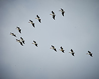 American White Pelican squadron formation flying.  Biolab Road, Merritt Island National Wildlife Refuge. Image taken with a Nikon D4 camera and 600 mm f/4 VR lens (ISO 400, 600 mm, f/8, 1/1250 sec).