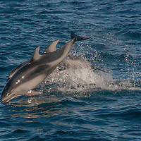 Pacific white-sided dolphins (Lagenorhynchus obliquidens) porpoise in Monterey Bay, California.