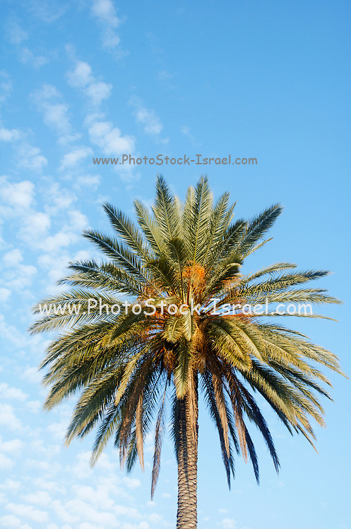 Large palm tree with dates on a blue sky background