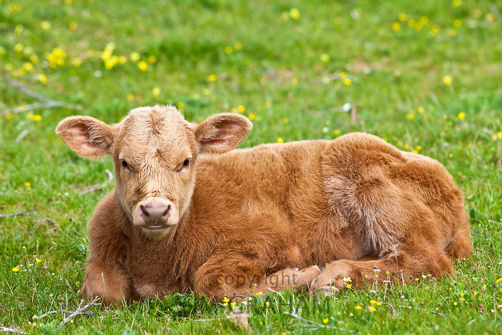Young brown calf  in buttercup meadow, County Clare, West of Ireland