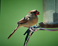 Female Northern Cardinal. Image taken with a Nikon D5 camera and 600 mm f/4 VR lens (ISO 900, 600 mm, f/5.6, 1/1250 sec)