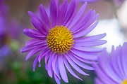 Soft focus Macro of a Gerbera purple flower