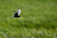 White-winged black tern, Chlidonias leucopterus, Nemunas River Delta, Lithuania