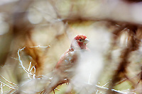 Male House Finch. Spring Nature in New Jersey. Image taken with a Nikon 1 V2, FT1 adapter, and 80-400 mm VRII lens (ISO 160, 400 mm, f/5.6, 1/160 sec). Hand-held and manual focus.