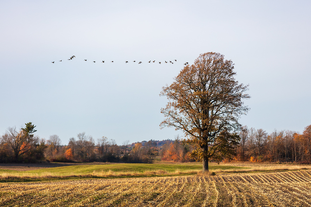 https://Duncan.co/geese-and-tree-at-corn-field