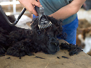 A contractor shearing an alpaca at a family farm in North Yorkshire, United Kingdom on 15th June 2017
