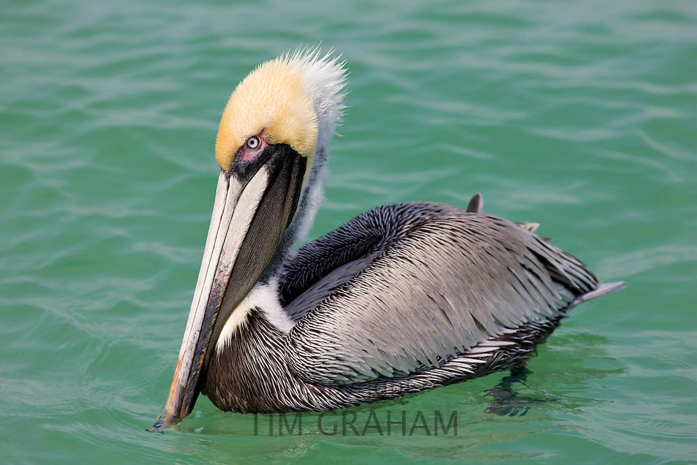 Brown pelican, Pelecanus occidentalis, off the Florida coast in the Gulf of Mexico, Anna Maria Island, USA