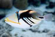 Rhinecanthus aculeatus (White-banded triggerfish)