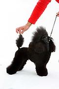 Ladies Kennel Association<br /> 2008 Championships<br /> Toy poodle (Frazier)<br /> Owner Joy Shirley