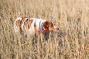 Brittany Spaniel on point during a pheasant hunt in South Dakota