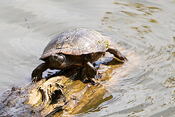 Read-eared Slider