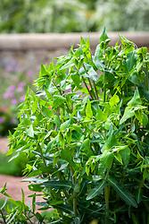 Euphorbia lathyris, Caper bush, Caper spurge