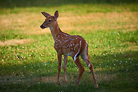 Fawn with Spots. Summer Backyard Nature in New Jersey. Image taken with a Nikon D800 and 300 mm f/2.8 VR lens (ISO 100, 300 mm, f/2.8, 1/500 sec).