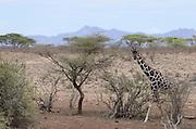 Kenya, Samburu National Reserve, Kenya, Reticulated Giraffe, Giraffa camelopardalis reticulata, near an Acacia tree